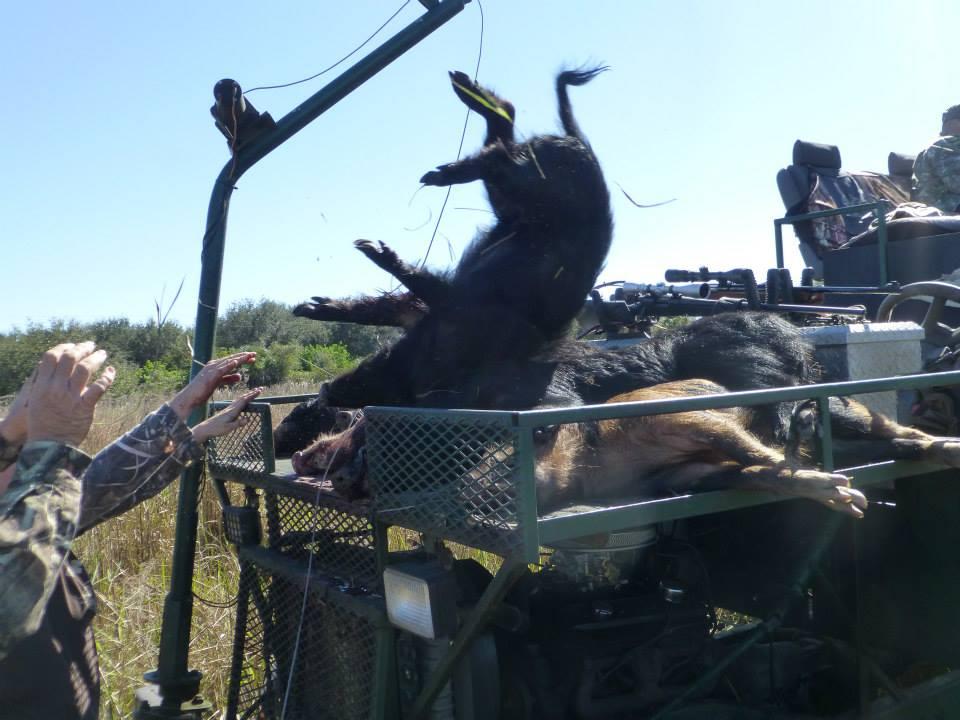 Hog Hunt - Florida - January 2014
